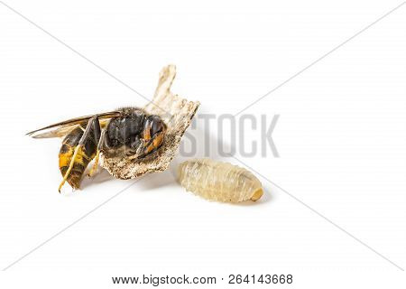 Close up of dead asian hornet wasp larva larvae insect macro in white background. Poisonous venom animal colony. Concept of danger in nature poster
