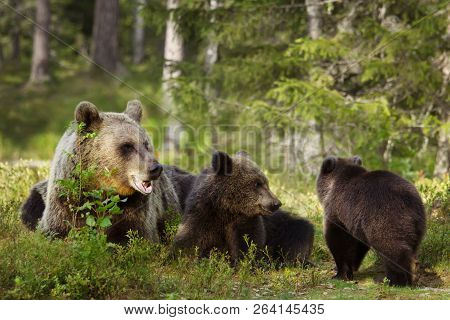 Close Up Of Female Eurasian Brown Bear (ursos Arctos) And Her Playful Cubs In Boreal Forest, Finland