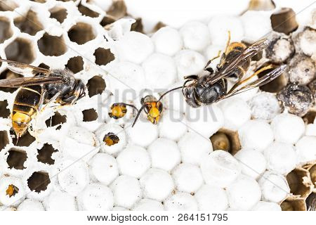 Close up of alive and dead asian hornet wasp head on nest honeycombed insect macro. Poisonous venom animal colony. Concept of danger in nature poster