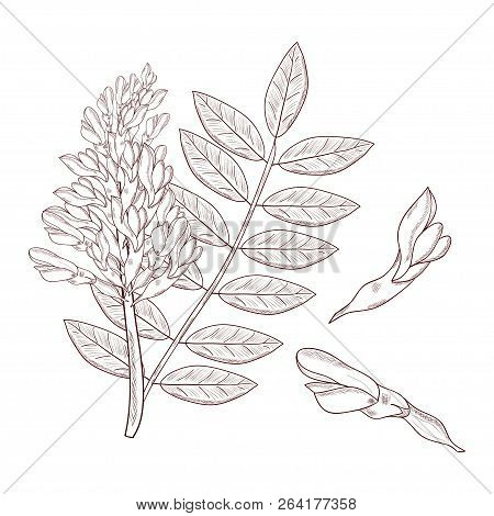 Licorice. Flower, Leaves. Set. Sketch. On A White Background. Monochrome