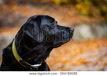 Head Of Black Labrador Retriever During Autumn, Dog Is Looking Right And Has Green Collar, Orange Le