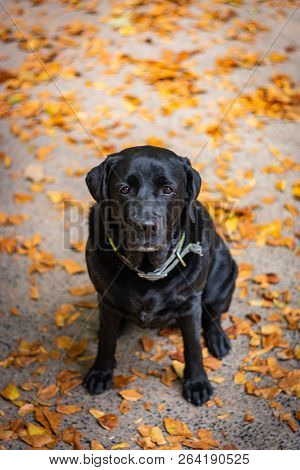 Black Labrador Retriever Sitting On The Gray Ground And Looking Forward During Autumn, Dog Has Green