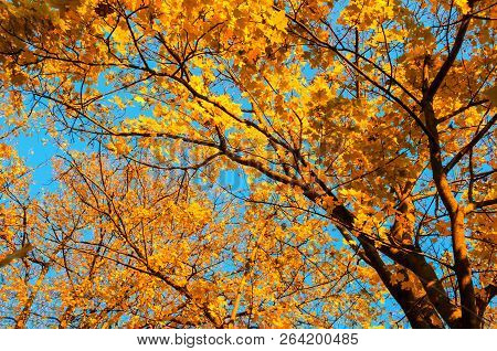 Fall trees background - fall maple tree branch with orange foliage lit by sunshine, sunny fall landscape in bright sunlight, beautiful fall forest nature