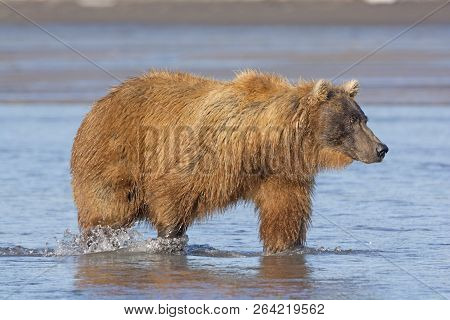 Grizzly Searching For Salmon In A Tidal Estuary In Hallo Bay In Katmai National Park In Alaska