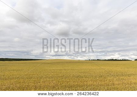 Dull And Rainy Weather On An Agricultural Field With Wheat