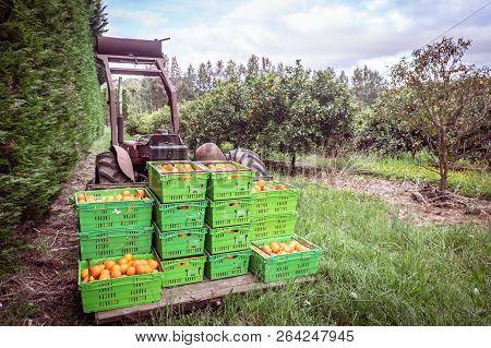 Orange Orchard In Kerikeri, Northland, New Zealand Nz - Harvest Of Citrus Fruit In Plastic Crates On