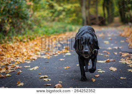 Black Dog Labrador Retriever Walking In The Forest During Autumn, Dog Has Green Collar, Orange Leave