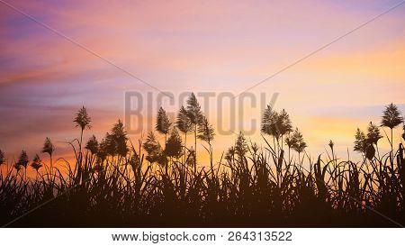 Sugar Cane Fields Flower At Sunny Sunset.