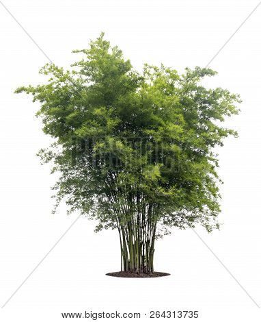 Bamboo Tree Isolated On White Background With Clipping Path