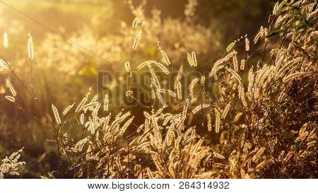 Fountain Grass With A Beautiful  On Sunset Background.