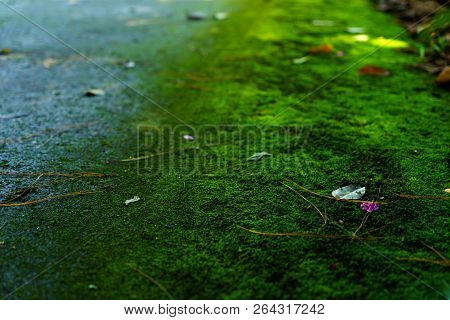 Moss Green Texture. Moss Background. Green Moss On Grunge Texture, Background