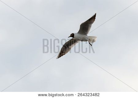 Seagull Sea Bird With Spread Wings Flight High In The Sky Leaden Gray Before The Storm