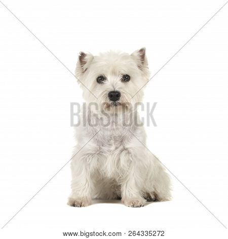 West Highland White Terrier Or Westie Dog Sitting Looking At The Camera Isolated On A White Backgrou