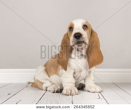 Cute bicolor basset hound puppy sitting and looking up in a gray living room setting poster