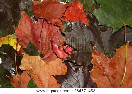 Close Up Of Autumn Leaves, Known For Being A Beautiful Time Of The Year. Theme Of Seasons Changing