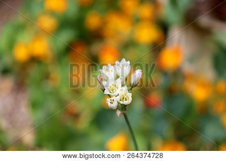 A Single White Flower From An Onion Weed Looks Very Beautiful Against A Background Of Orange Flowers