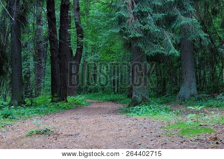 Beautiful green mystique forest. Green coniferous forest. Northern forest. Walk through the forest. Journey through the forest. Tourism in the North of the country. Forest reserve. Pine forest. Spruce forest. Mixed forest. Path in the forest