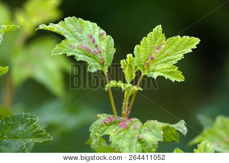Ill Leaves On A Branch Of Red Currant Infected By Gallic Aphids (selective Focus Used)
