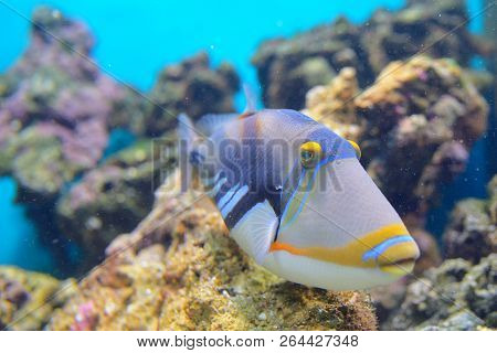 Lagoon Triggerfish Coral Reef Clown Triggerfish, Close Up