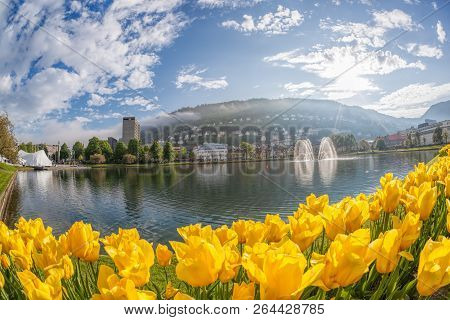 Bautiful Springtime With Tulips In  Bergen, Norway