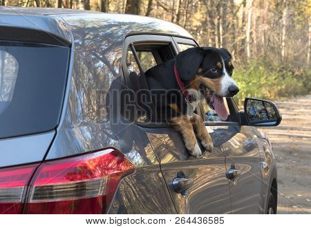 Entlebucher Mountain Dog Looks Out Of The Car Window.