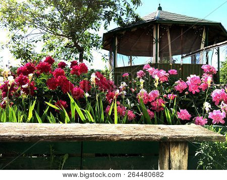 Blooming Flower Peony With Leaves, Living Natural Nature, Unusual Aroma Bouquet Flora. Peony Flower