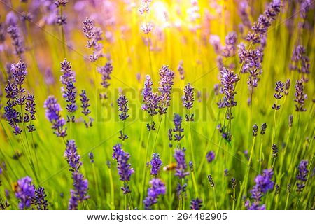 Nature Background Concept. Beautiful Summer Nature Meadow Background Sun Beams. Flowering Lavender G