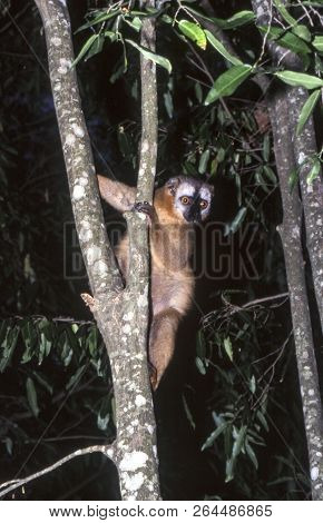 Red-fronted Brown Lemur (eulemur Fulvus Rufus),  Berenty Private Reserve, Anosy, Madagascar