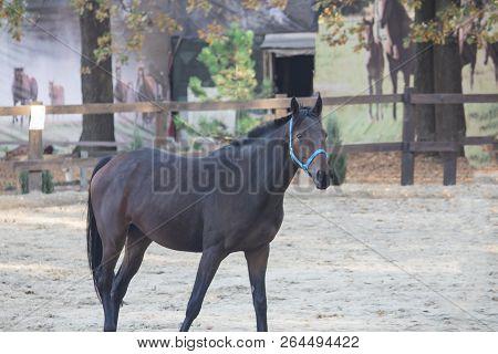 Horse Black. Horse Walking In Field. Horse On Nature. Portrait Of A Horse, Black Horse. Horse On The