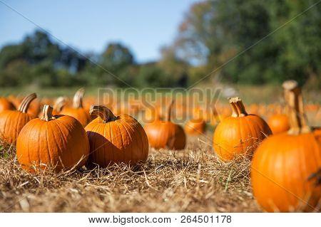 Orange Pumpkins At Outdoor Farmer Market. Pumpkin Patch.  Copy Space For Your Text