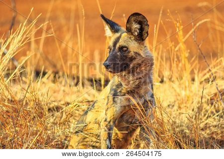 Small Spotted Hyena Species Crocuta Crocuta Standing Watchful In Kruger National Park, South Africa.