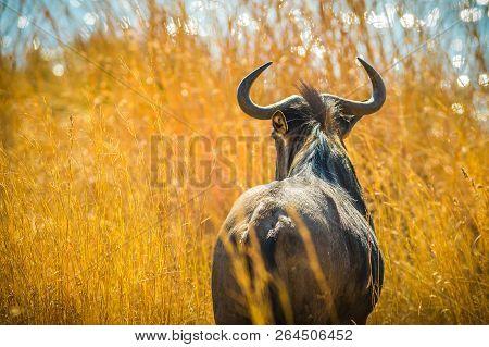 Back Of Wildebeest, Connochaetes Gnou, In The Savannah Plains, Pilanesberg National Park, South Afri