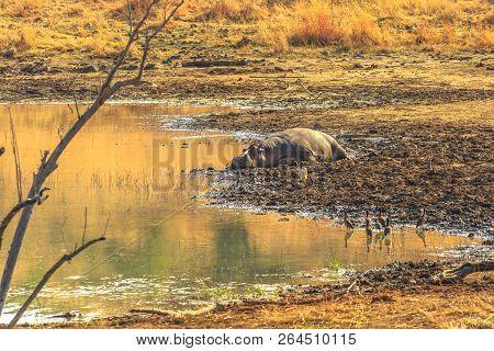 Cape Hippopotamus Or South African Hippopotamus Resting On A Shore Of River In Pilanesberg National