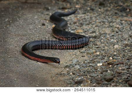 Red-bellied Black Snake - Pseudechis Porphyriacus Species Of Elapid Snake Native To Eastern Australi