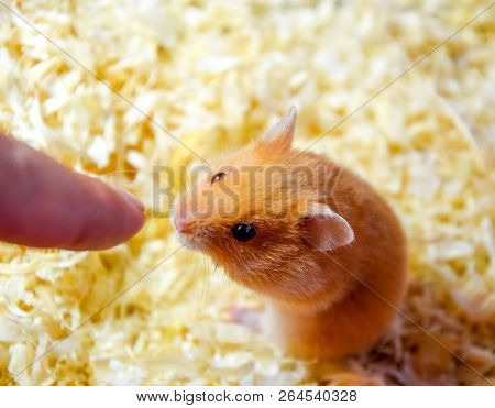 Hamster sniffing human finger. Hamster home in keeping in captivity. Hamster in sawdust. Red hamster. poster