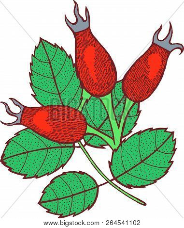 Rosehip - Graphic Floral Artwork. Isolated Hand Drawn Design Ele