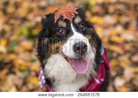 Bouvier Bernese Mountain Dog Portrait In Outdoors