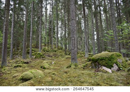 Mossy And Rocky Growing Spruce Tree Forest