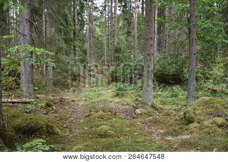 Footpath Into A Green And Mossy Spruce Forest