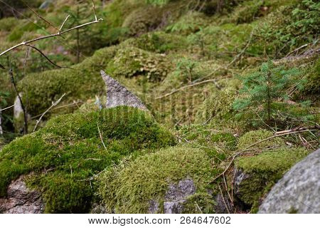 Mossy And Stony Old  Green Forest Ground