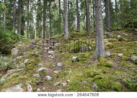 Mossy And Stony Floor In A Spruce Forest