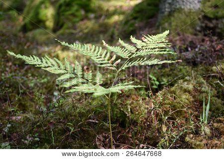 Wild Bracken Plant Closeup By A Forest Fround