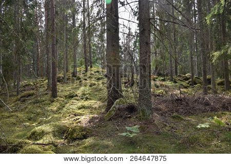 Mossy Coniferous Forest With Tall Tree Trunks