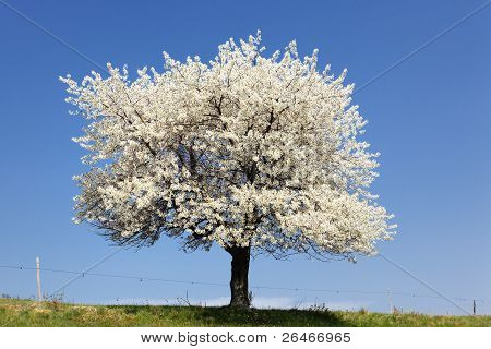 The Big White Tree