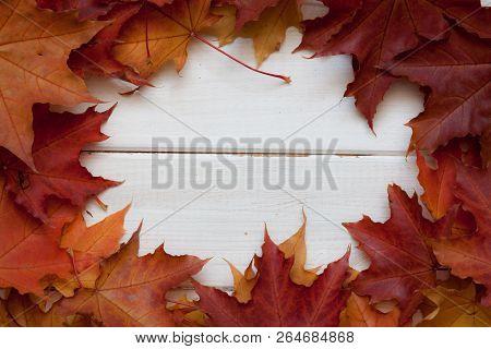 Autumn Maple Leaves.
