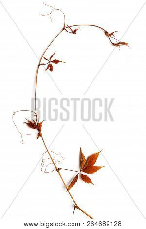 Dry Bough With Red Leaves.
