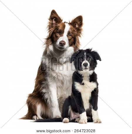Puppy border collie dog, Border Collie, in front of white background