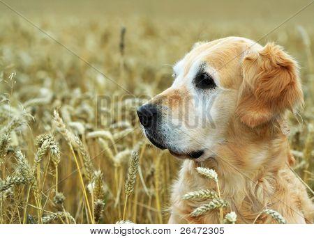 golden retriever in field wheat
