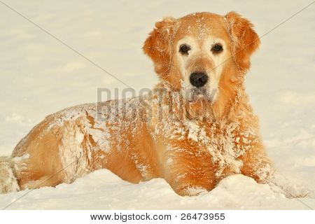 "My dog   - "" Golden retriever "" in of winter"