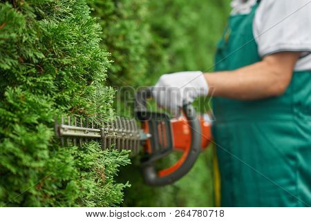 Close Up Of Man Hand With Hedge Trimmer Cutting Bushes Of White Cedar To Ideal Fence. Male Gardener,